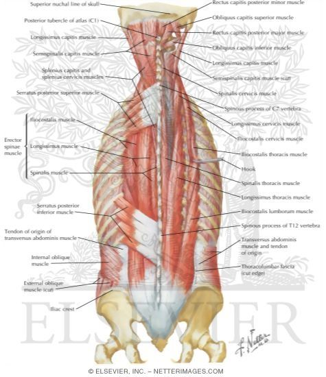 Muscles of Back: Intermediate Layers