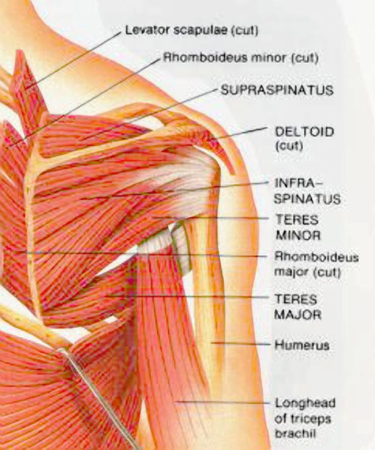Muscles Of The Shoulder | Do you have neck, shoulder or back pain?