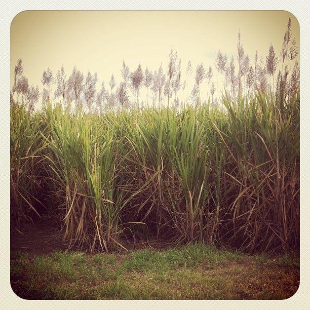 Sugarcane fields just outside Bundaberg. #roadtrip