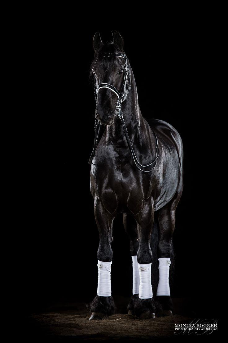 Pferde im Studio – professionelle Fotos vor schwarzem Hintergrund. Ihr Pferd im Studio – mit dem mobilen Studio ist es mir möglich zu Ihnen in den St…