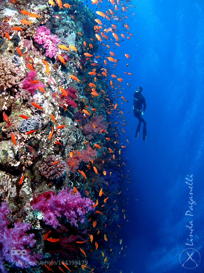 Freediving Ras Mohamed by lindapaganelli Freediver exploring the amazingly coroful marine life along a coral wall at Ras Mohamed national park, close to Sharm el Sheikh, Egypt.