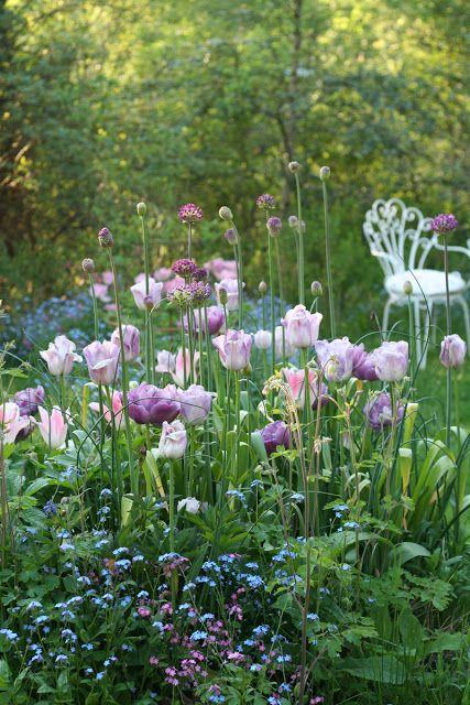 Romantická kombinace dokvétajících tulipánů s rozkvétajícími okrasnými česneky a jemnými květy pomněnek.