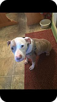 New York, NY - Pit Bull Terrier Mix. Meet Tinsley, a dog for adoption. http://www.adoptapet.com/pet/18212068-new-york-new-york-pit-bull-terrier-mix