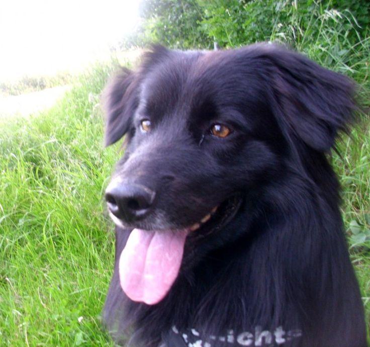 Australien-Sheperd-Border-Collie-Mix Lucky Hunde zaubern uns doch immer wieder ein Lächeln ins Gesicht! ♥ #Hundename: Lucky / Rasse: #Australien-Sheperd-Border-Collie-Mix      Mehr Fotos: https://magazin.dogs-2-love.com/foto/australien-sheperd-border-collie-mix-lucky-2/ Foto, Hund, Liebe