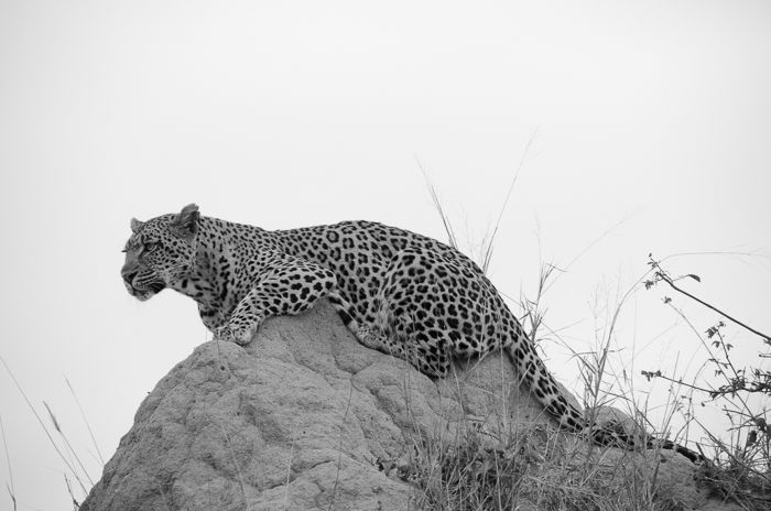 The Tamboti female uses a termite mound to gain a height advantage as she carefully watches the movements of a nearby impala herd. On this day we watched her for about two hours as she patiently stalked the impala, unfortunately not being successful in the end. Photograph by Kevin Power