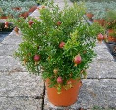 Growing pomegranate trees in pots -- dwarf varieties