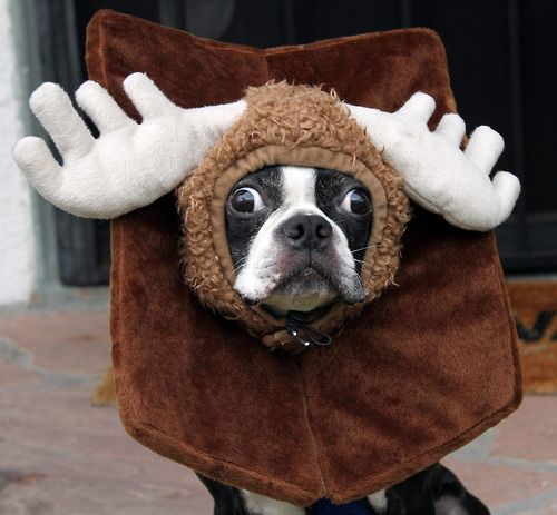 HA!!!!! Boston Terrier in moose costume! Not particular funny!  Shhh Not dignified for my BT Brother. rofh okok Adoraba-PUP!
