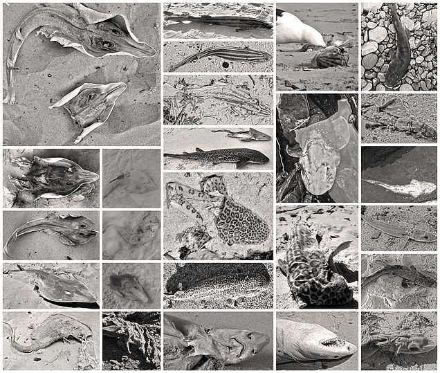 Causes for Elasmobranch strandings and why our endemic catsharks need special attention.
