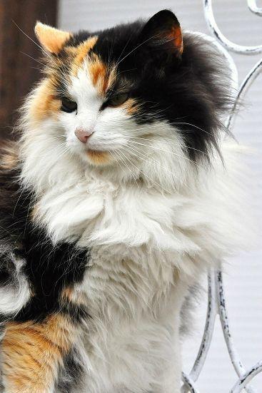 fluffy calico cat - photo #8