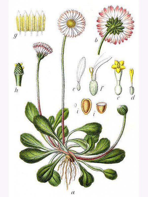 маргаритка ботанический рисунок: 3 тыс изображений найдено в Яндекс.Картинках
