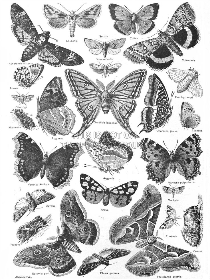 SCIENTIFIC-ILLUSTRATION-BUTTERFLY-MOTH-BLACK-WHITE-DRAWING-PRINT-POSTER-BB9409