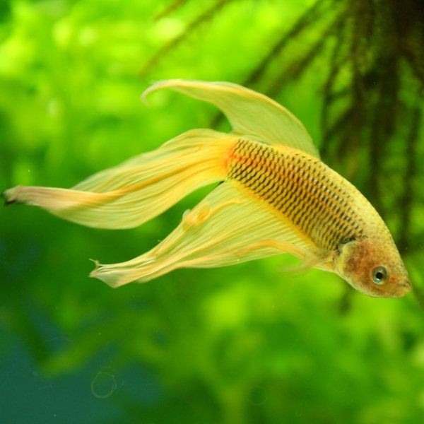 1000 images about betta fish love on pinterest auction for How much are betta fish at walmart