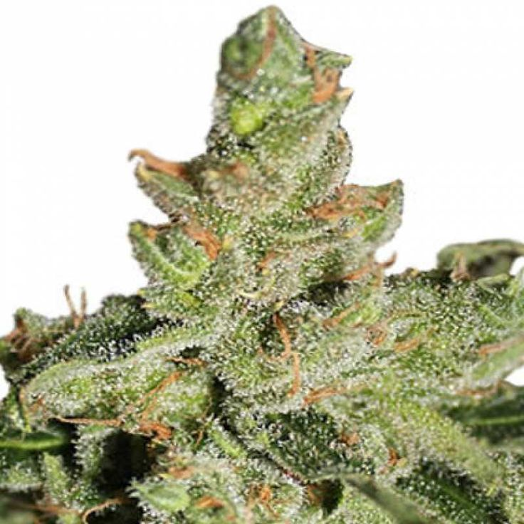 """Auto Amnesia Feminised очень мощное энергетическое сативное растение с быстрым ростом, соцветия которого похожи на """"лисьи хвосты"""".  Обладает сильным эффектом, главным образом оказывающим действие на мозг."""
