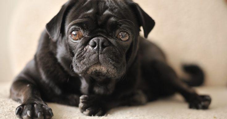 Cómo cuidar a un perro que sufre de incontinencia. La incontinencia canina puede estar asociada con enfermedades como la lesión de la médula espinal o con la vejez. El cuidado de un perro con incontinencia puede ser difícil pero la clave es desarrollar un programa de alimentación estricta y un horario para el cuarto de baño. Dicho horario, combinado con los cambios de pañal regulares o la ...