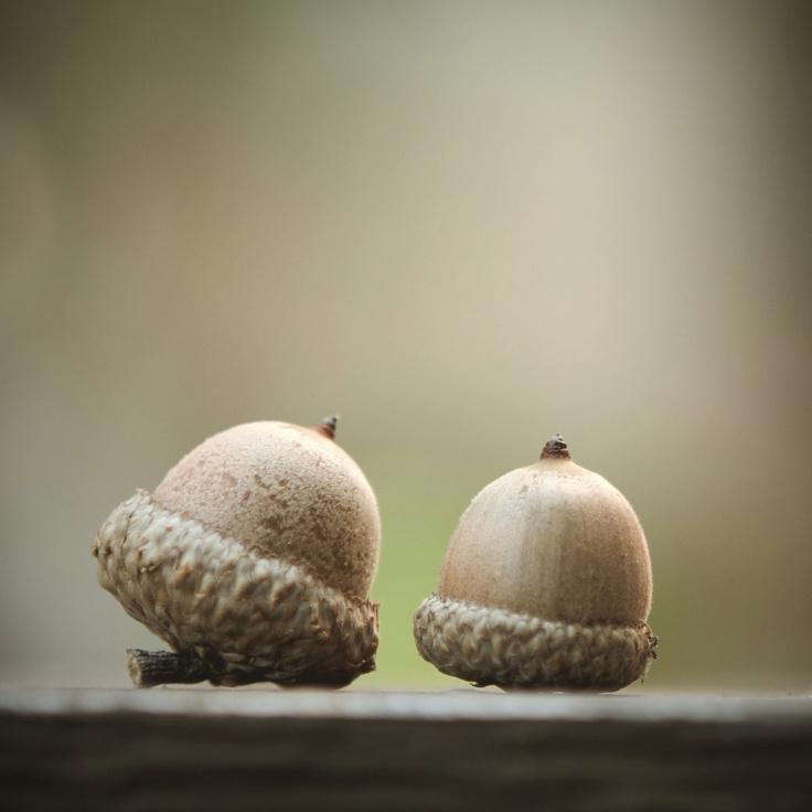 Two Acorns 8 X 8 Photograph