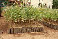 Vegetative reproduction - Wikipedia, the free encyclopedia