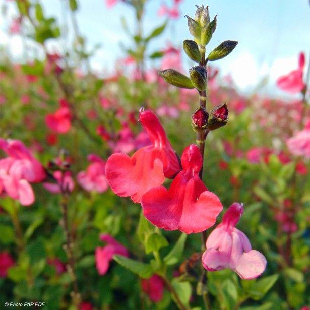 Sauge arbustive  - Salvia microphylla grahamii