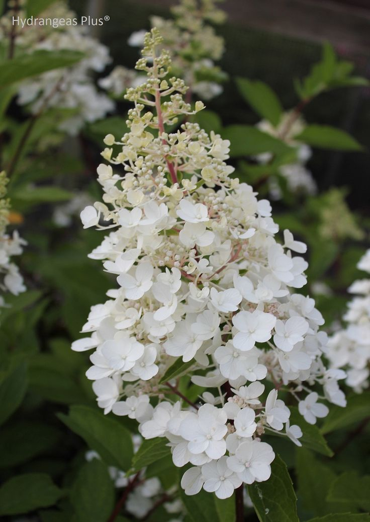 Pinky Winky Hydrangea Paniculata, starts off white and transitions to pink. Extremely hardy, survived Chicago's coldest winter on record.