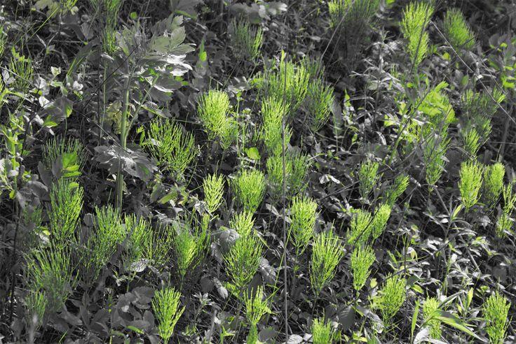 Equisetum arvense small colony