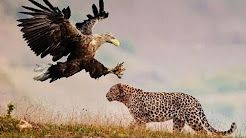 Leopard vs. Eagle vs. Lion vs. Hyena - YouTube