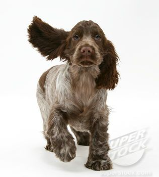 I love chocolate roan cocker spaniels