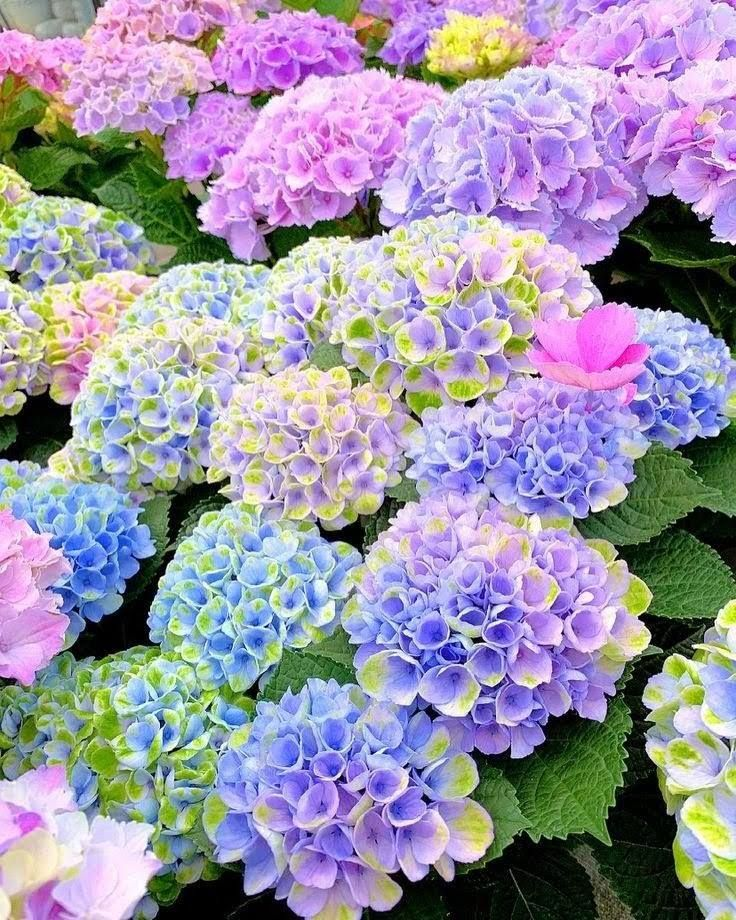 Hydrangias In 2020 Flowers Nature Flower Aesthetic Pretty Flowers