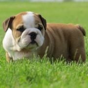 Champ Bulldog Puppy  – Bulldog love