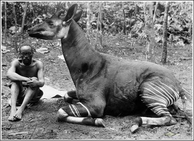 First okapi born in captivity, in Antwerp