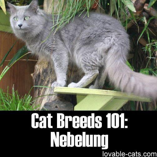 Cat Breeds 101: Nebelung ►► http://lovable-cats.com/cat-breeds-101-nebelung/?i=p