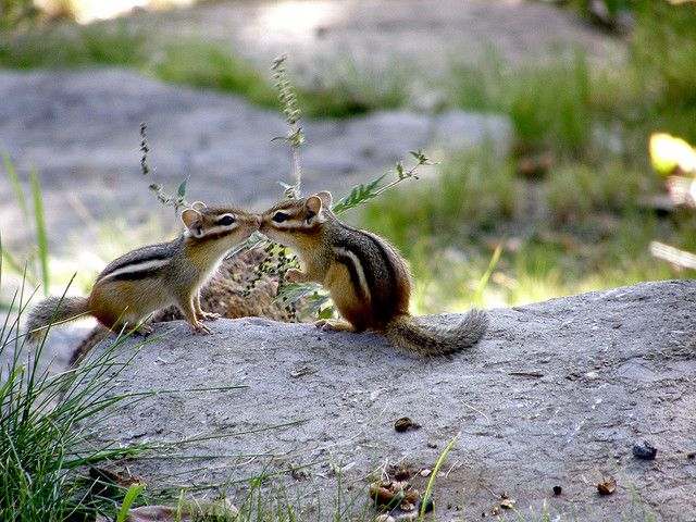 An Absolute Classic....Chipmunks Kissing!   Flickr - Photo Sharing!