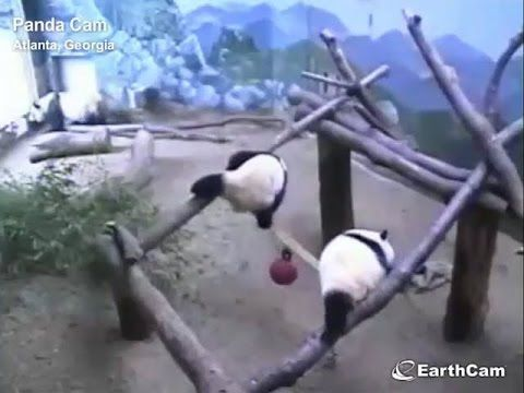 Late Saturday afternoon panda twins Mei Lun and Mei Huan, nearly 16 months old, engaged in a play bout in the hammock dayroom ... but there was no hammock! N...