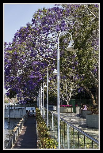 jacaranda trees in bloom, Brisbane River walk, Brisbane, Australia