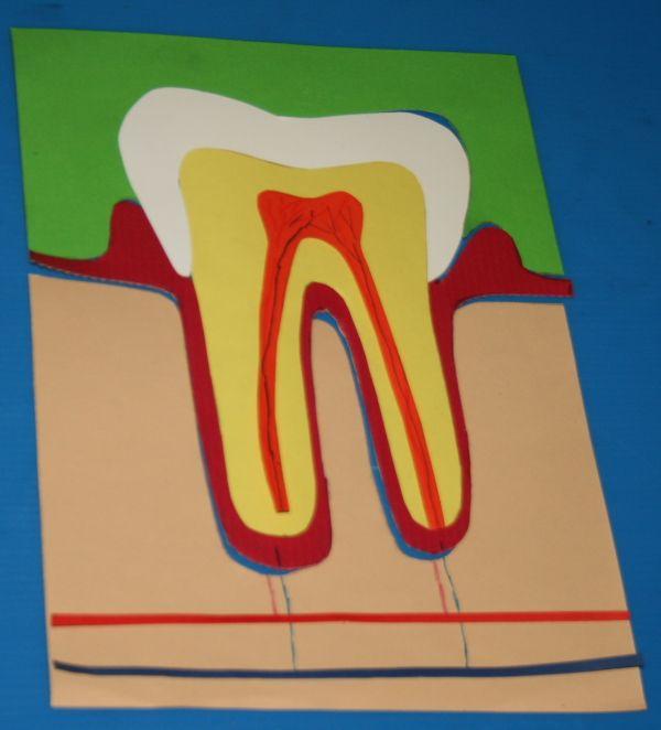 higiena jamy ustnej modelu struktury zęba