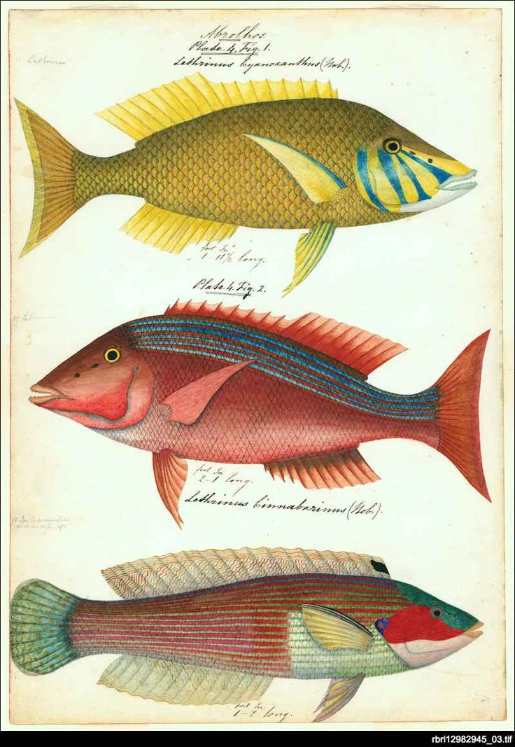Original natural history artwork, primarily watercolours of fish from Australian waters by James Barker Emery, 1840.