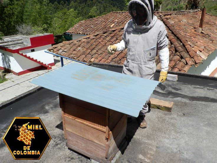 Es aconsejable mantener la higiene durante todo el proceso de la cosecha de miel, evitando contaminaciones que disminuirían la calidad del producto. Antes de iniciarse el trabajo de cosecha propiamente, uno de los operadores debe hacer humo dentro del ahumador. Para esto necesitará viruta o trocitos de leña. El procedimiento de cosecha de la miel se realiza de la siguiente manera: * Haga humo con el ahumador en torno a los cajones. El humo hace que las abejas se inquieten.