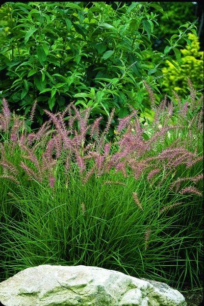 Karley Rose Oriental Fountain Grass for sale buy Pennisetum orientale 'Karley Rose' PP 12,909
