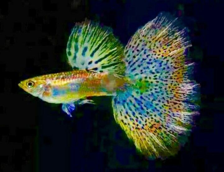 Different Types Of Guppies In The World With Beautiful Pictures Guppies Guppyfish Aquariumfreshwaterfishpictures Guppy Fish Guppy Aquarium Fish