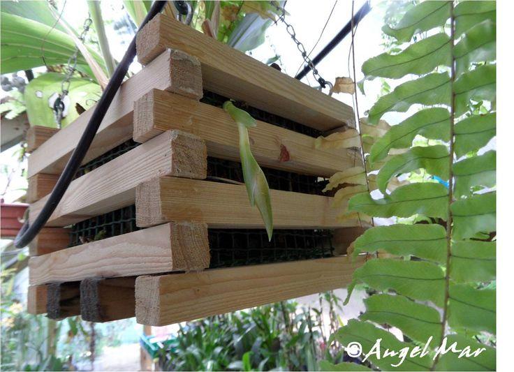 Las cestas de listones de madera podemos utilizarlas como soporte de cultivo para orquídeas de flores colgantes como las Stanhopeas  o las...
