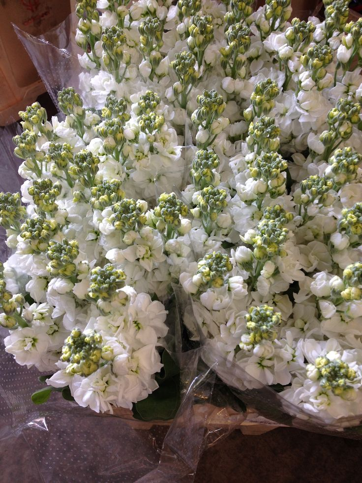 Stocks called 'Aida White'...Sold in bunches of 10 stems from the Flowermonger the wholesale floral home delivery service.