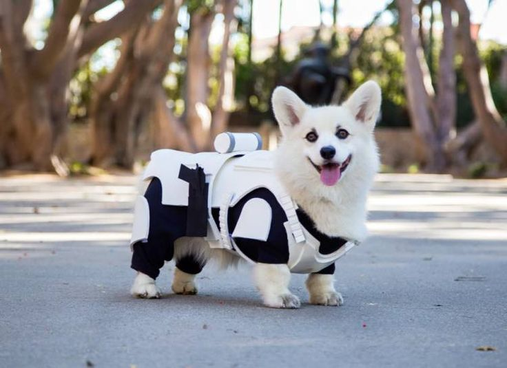 A Little White Corgi Dog Proudly Prances Around in His Custom Made 'Star Wars' Stormtrooper Costume