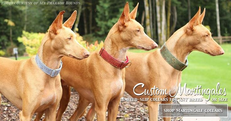 Pharaoh hounds in fancy collars! Egyptian Pharaoh Hound (Kelb tal-Fenek / Klieb tal-Fenek) Puppy Dogs