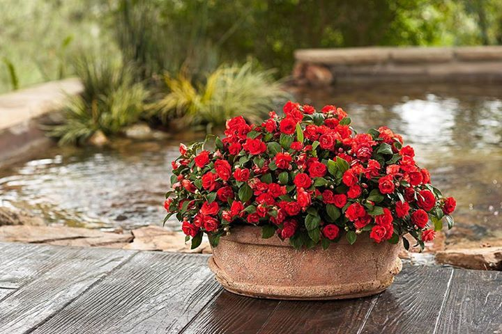 In Certain Parts Of The Country Impatiens Have Become