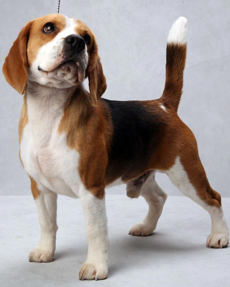 Mason The Beagle At The Westminster Dog Show Photo Fred R Conrad The New York Times Beagles Westminster Dog Show Beagle Puppy Cute Beagles