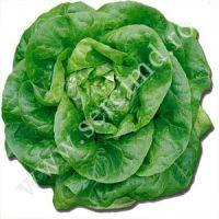 Rasaduri de salata timpurie, cu frunze netede, recomandat pentru sezonul rece Folie Solar