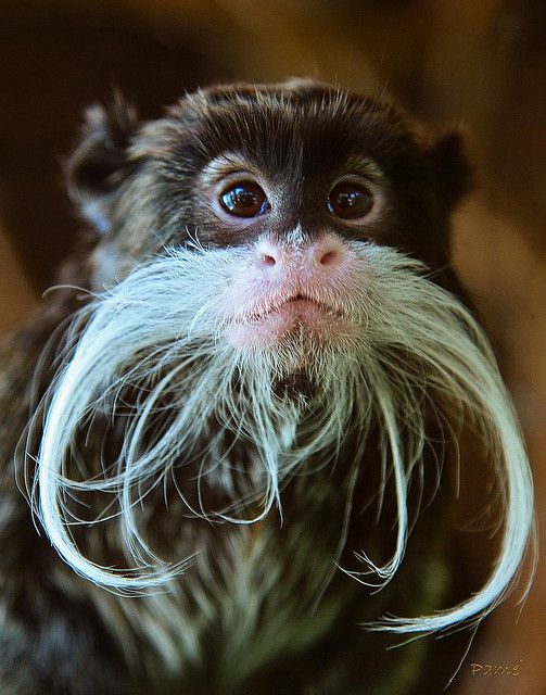 The Emperor Tamarin is a small species of monkey found in the forests of South America. It was named because of it's elegant white moustache, which is thought to resemble that of German Emperor Wilhelm. (Photo Pam Wood)