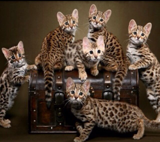 My new obsession: Bengal Cats.  I will get one when I have my own home (even if I have to sell a kidney)
