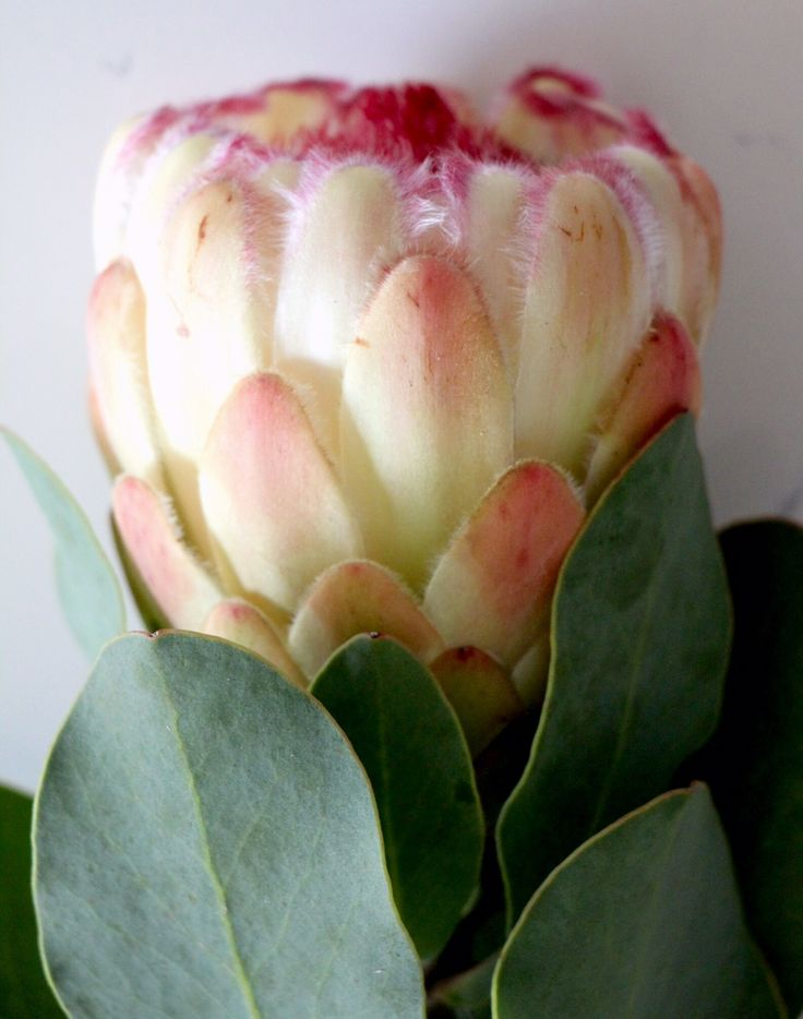 Fresh Approach Property Styling, Protea