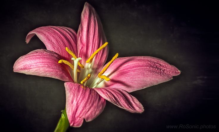 Pink Lily by Andrei Robu - www.RoSonic.photos on 500px
