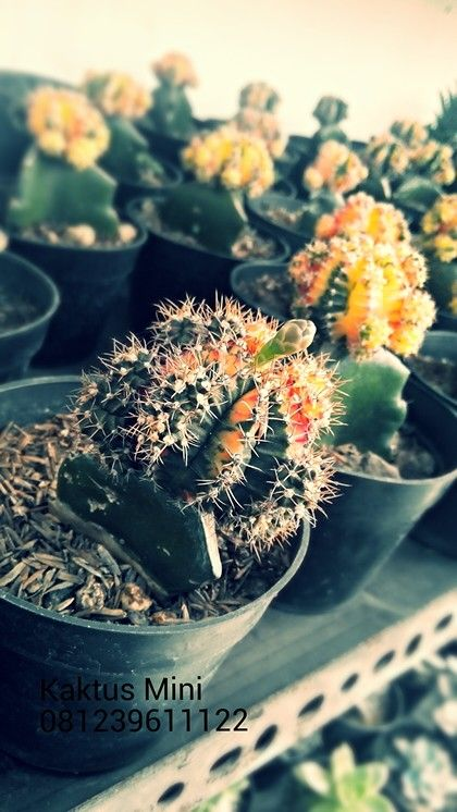 Mini Cactus For Sale at Denpasar Bali #Houseplants #Cheapest #Bali  +6281239611122