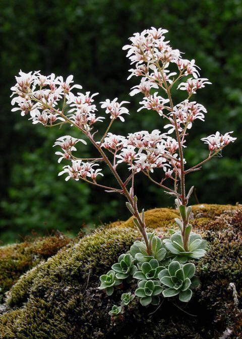 Bergfrue  Norway's Flower
